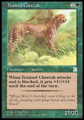 Trained Cheetah